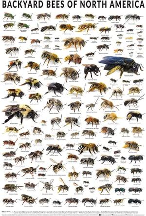 backyard bees - amazon